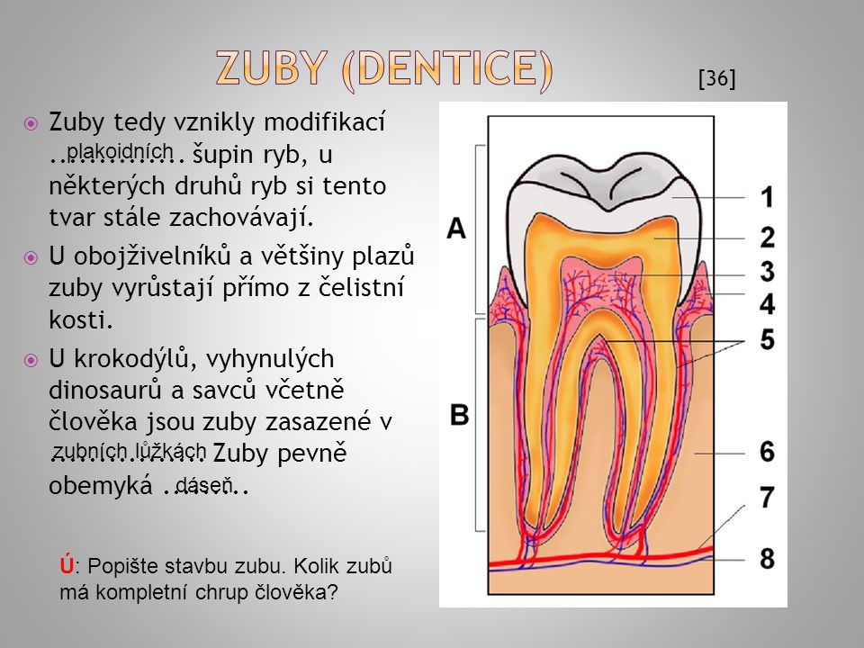Zuby (dentice) [36] Zuby tedy vznikly modifikací .............. šupin ryb, u některých druhů ryb si tento tvar stále zachovávají.